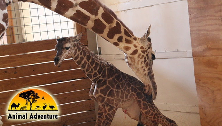 April_the_giraffe_gives_birth_to_baby_bo_0_20170415220952-401385-401385
