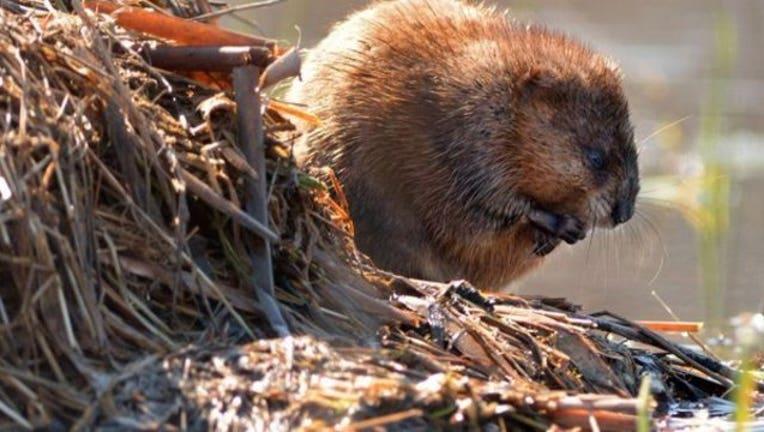 Beaver_1468267918242-403440.jpg