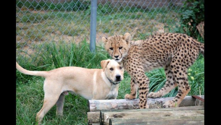 CheetahCubPuppyFriendship_1444183349873-401720.jpg