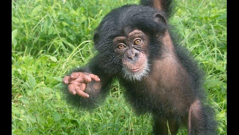 Chimp #4_1441215436674-401385.jpg
