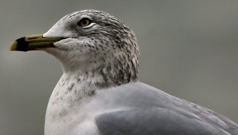 Seagulls (GETTY)-408200