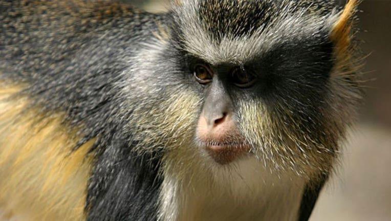 e6bc27ad-Guenon-monkey_1466623529652.jpg