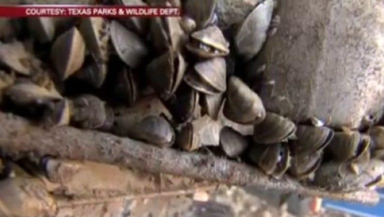 Invasive____zebra_mussels____found_in_La_0_20170628030844