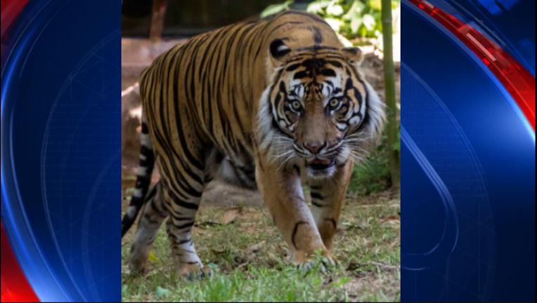 28654d33-Sumatran tiger_Zoo Atlanta_1494439720604-404959.PNG