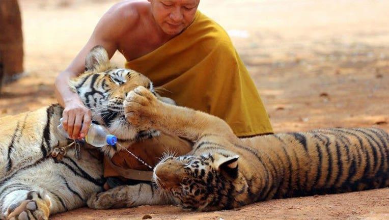 2bd91f13-Thai-Temple-Tigers_1464814753668.jpg