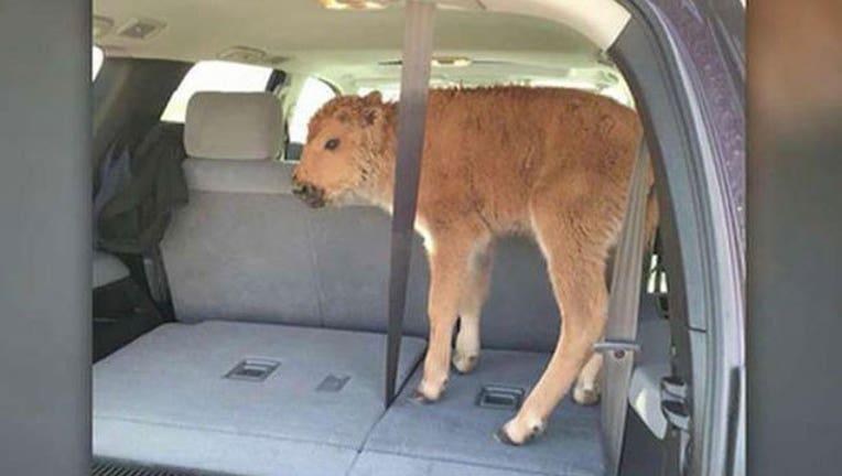 bison-calf-in-SUV_1464905529306.jpg