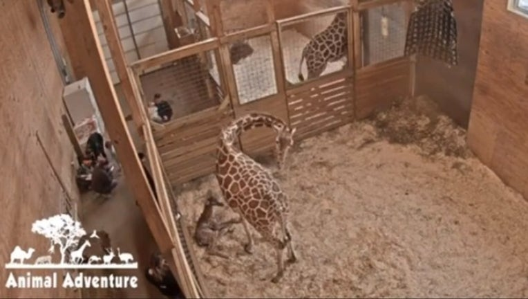 april the giraffe-402429