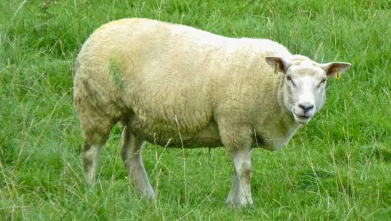 psychotic-sheep_1464285219386-404023.png