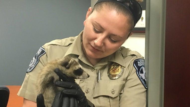 raccoon 2_1494442824869.jpg