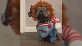 Video of dog dressed as 'Chucky' for Halloween goes viral