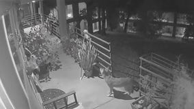Video: Coyotes wander onto second floor of condominium in South Austin