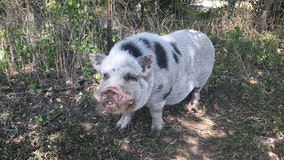 WCSO in search of owner of found Leander pig