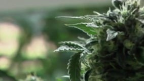 Williamson County to temporarily stop marijuana arrests