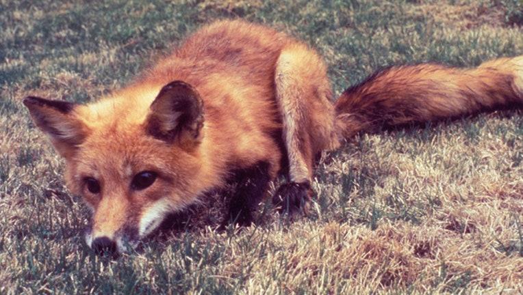 b5b07615-GETTY fox_1565124752175.jpg.jpg