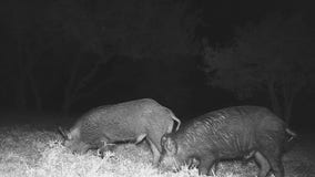 Jonestown family says feral hogs are terrorizing their yard