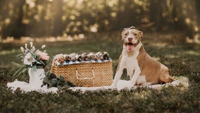 Rescue stages adorable maternity photo shoot for formerly abandoned pit bull named 'Mama Pickles'
