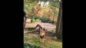 Police want to question woman seen in lion enclosure