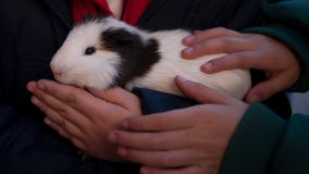'I was suspicious, but it was tasty': Guinea pig ice cream for sale in Ecuador