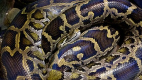 Woman found dead with 8-foot python coiled around neck in home filled with 140 snakes