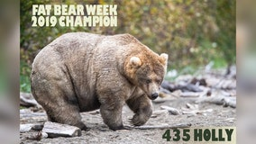 Meet the 'Queen of Corpulence': 'Holly' crowned 2019 'Fat Bear Week' champion