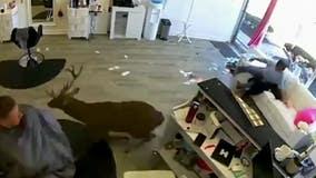 Deer caught on camera jumping through window of hair salon