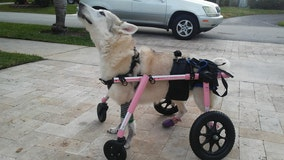 Disabled Florida dog stolen in car found: 'Zorra is gone, she is dead'