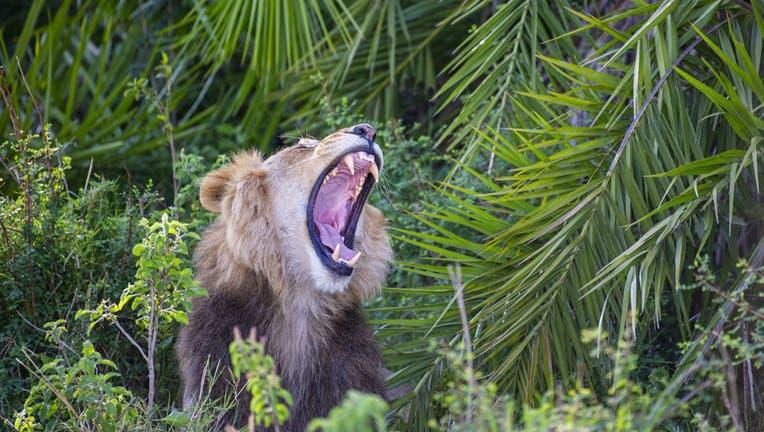 lion-roar-1.jpg