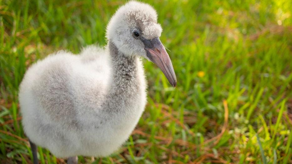 BREVARD-ZOO_flamingo-hatchlings-2_103019.jpg