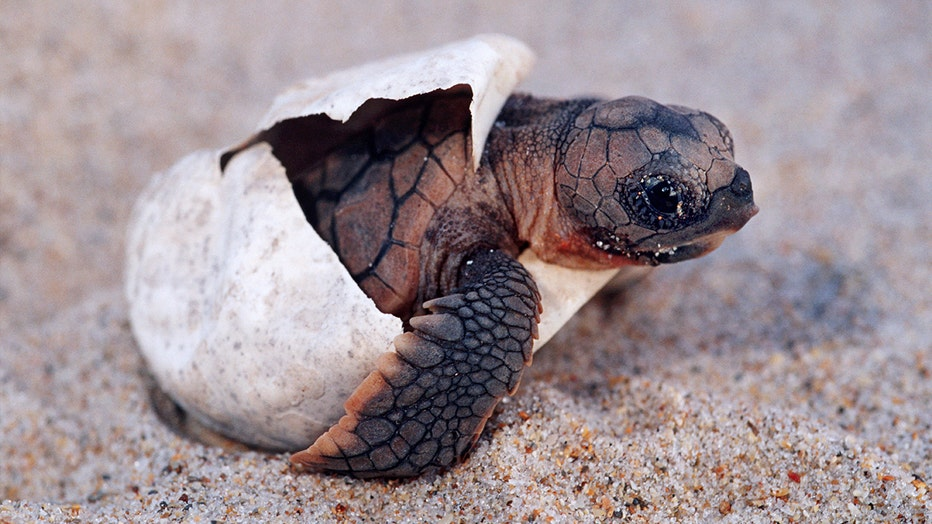 Loggerhead turtle, Caretta caretta, is endangered, in part due to new populations being born largely female as a result of climate change.