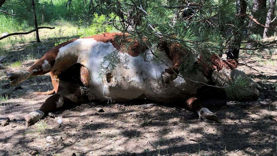 One of the five dead bulls found mutilated at Silvies Valley Ranch in Salem, Oregon.