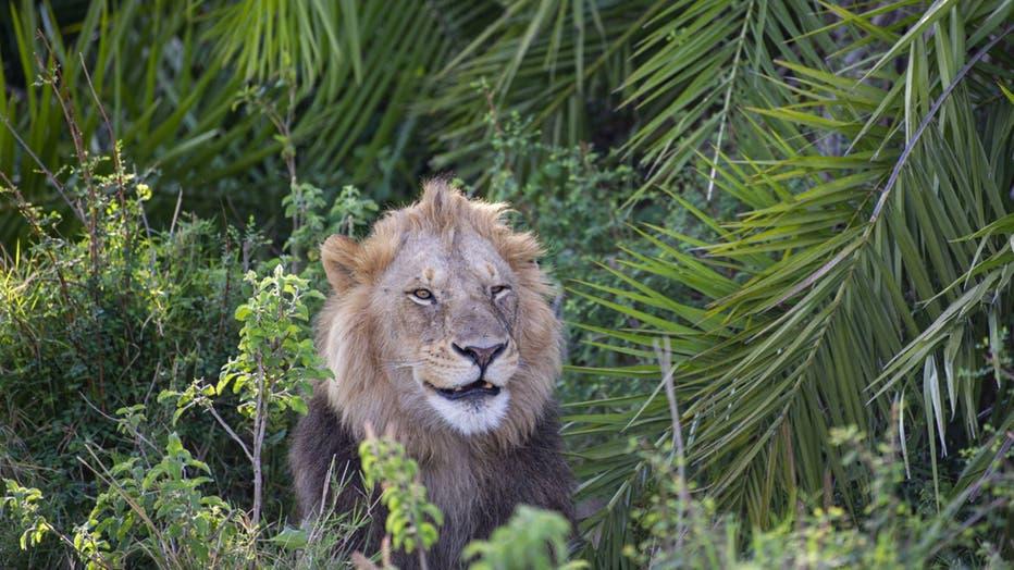 lion-roar-2.jpg