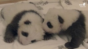Twin panda cubs meet for the first time at Berlin zoo