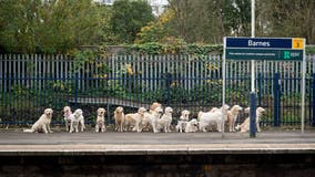 Commuters delighted by group of golden retrievers waiting in line on train platform