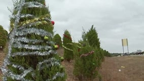 Decorations on trees along 360 harmful to wildlife, environment, says Bull Creek Foundation