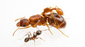 'Rodeo ants' that hitch a ride on larger ants discovered in Texas