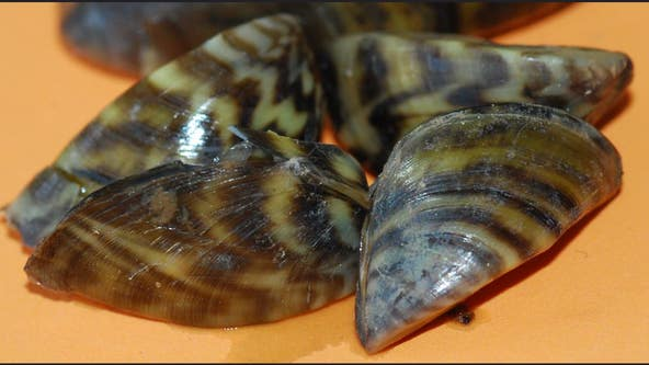 """Medina, Inks Lakes, Lake Brownwood fully """"infested"""" with zebra mussels"""