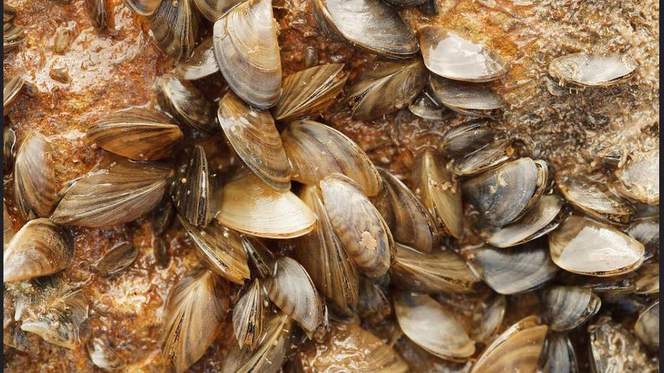 Infested status means that there is now evidence of an established, reproducing population of zebra mussels in the lake.