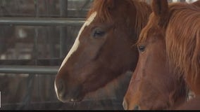 About 90 rescued wild horses and burros up for adoption in Giddings