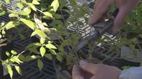Your Garden: Pruning perennials
