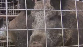 Feral hogs cause damage at Lockhart State Park golf course