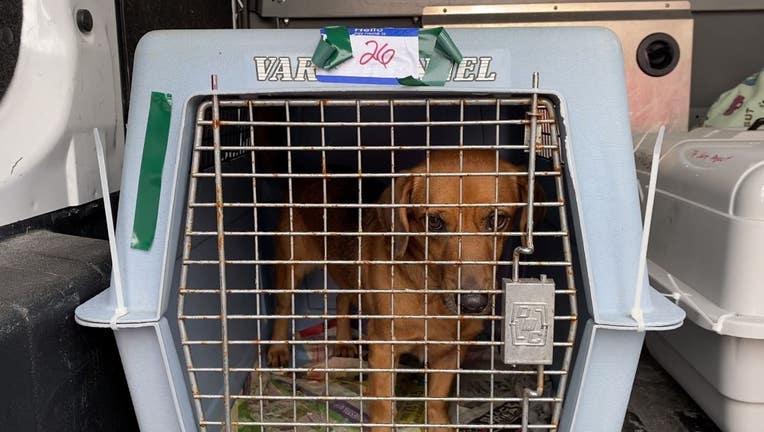 BVSPCA_puerto_rico_rescue_02.jpg