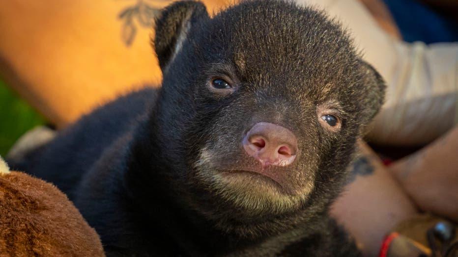 Orphaned-Bear-Cub-4.jpg