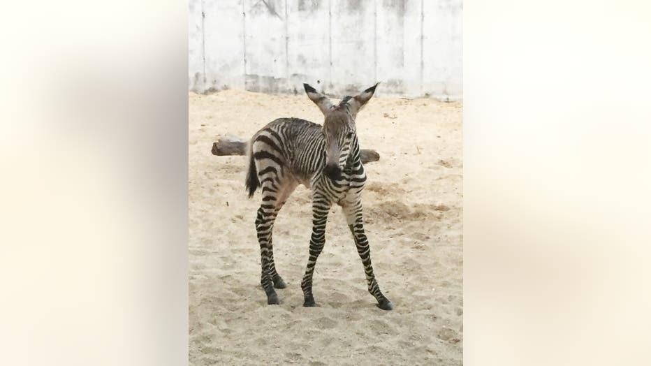 wdwnews3-zebra.jpg