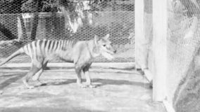 Newly released footage gives last-known glimpse of extinct Tasmanian tiger