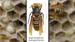 """Texas A&M AgriLife forms task force to head off possible emergence of """"murder hornets"""" in Texas"""