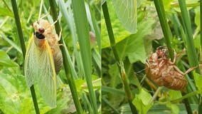 Cicadas in Virginia, West Virginia to emerge this month after 17 years