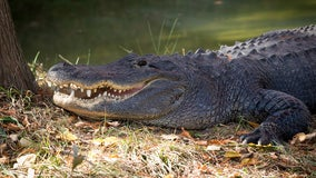 Alligator rumored to have been Hitler's dies in Russia