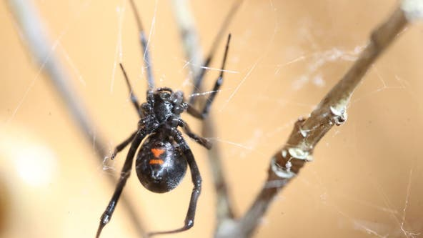 3 boys let black widow bite them in hopes of turning into Spider-Man