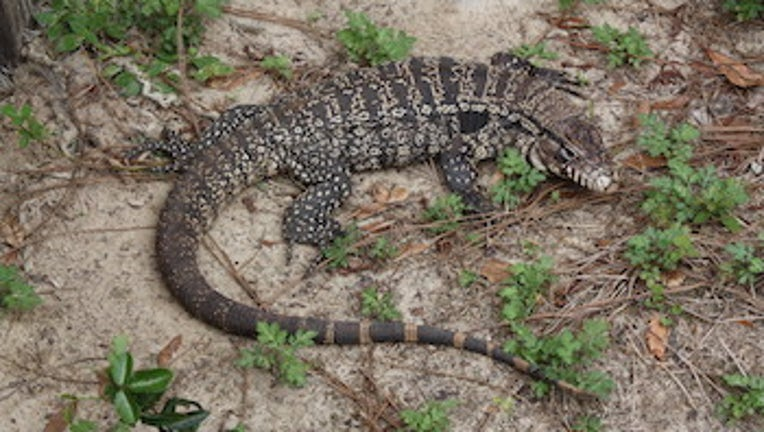Argentine black and white tegu_Stan Kirkland_Florida Fish and Wildlife Conservation Commission