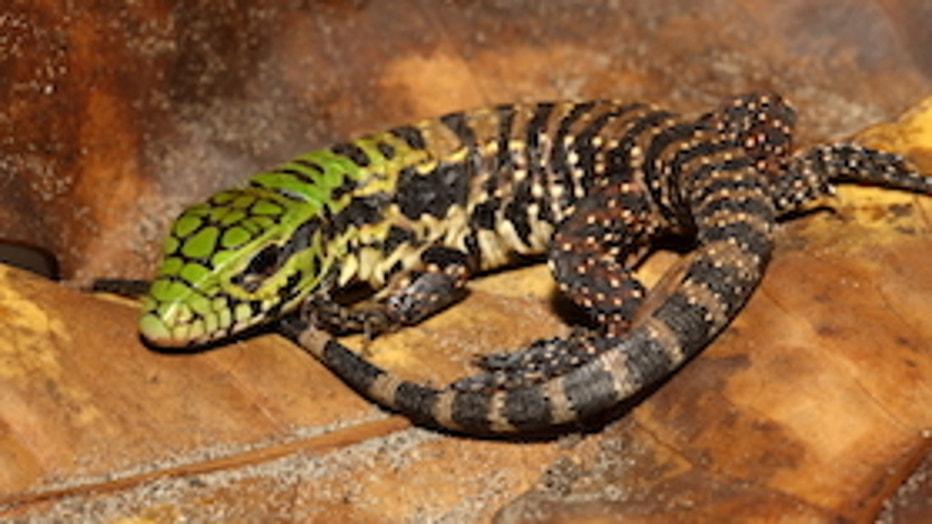 Argentine-black-and-white-tegu-young_Dustin-Smith_0.jpg